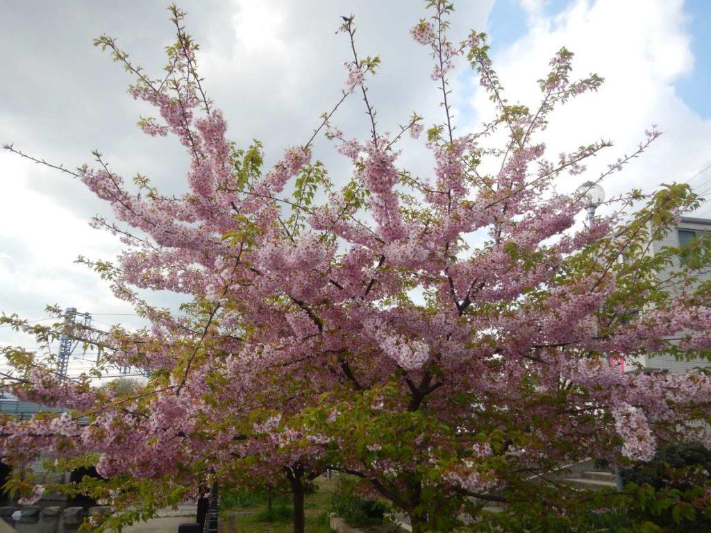 淀緑地の河津桜