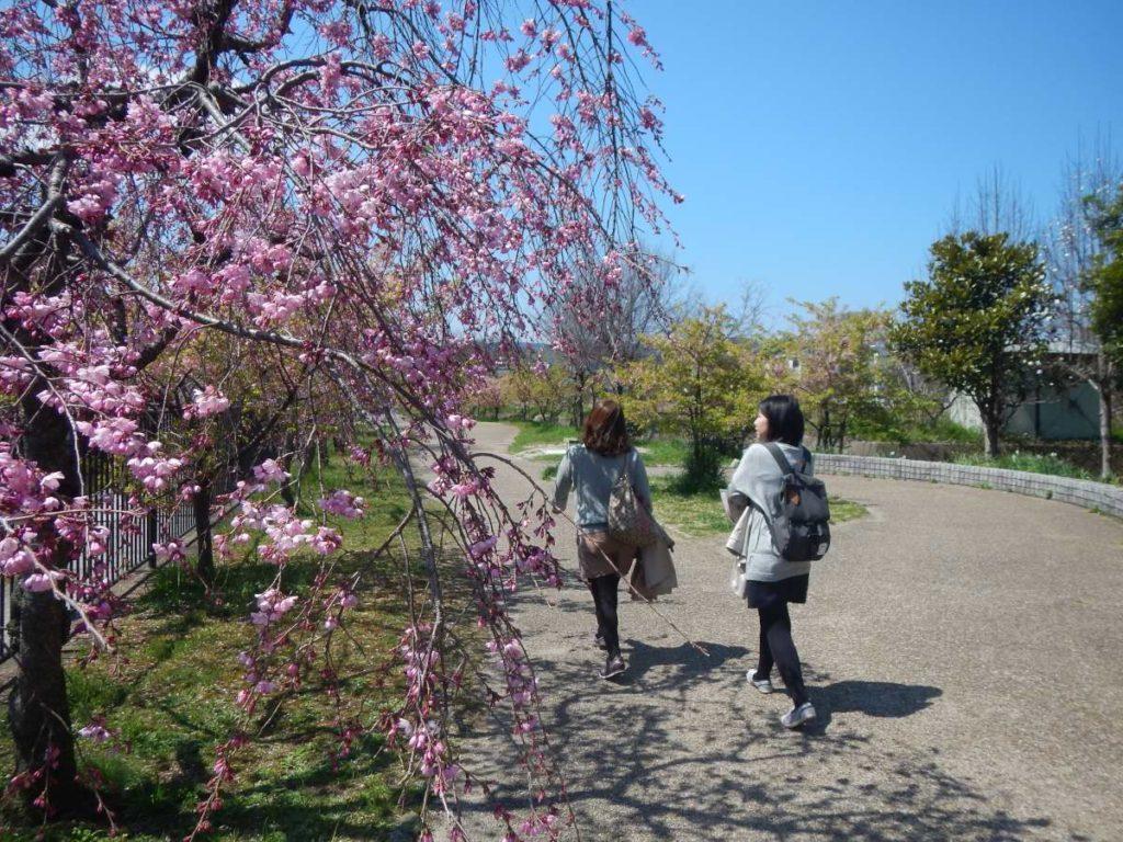 しだれ桜とウォーカー