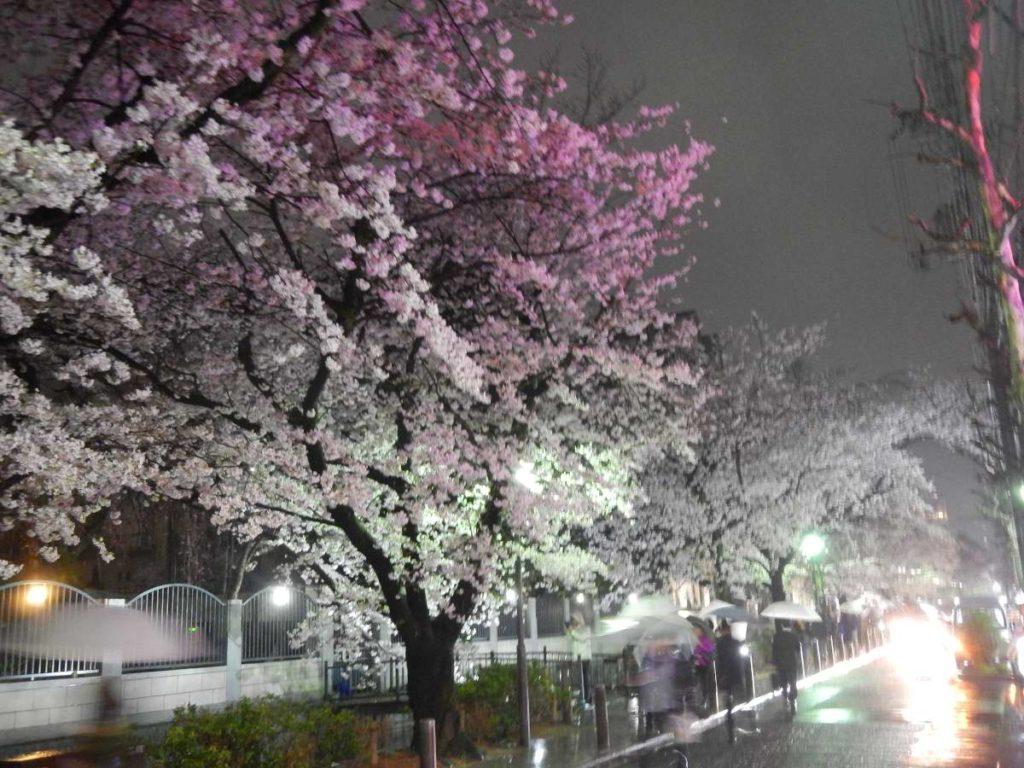 木屋町の桜3