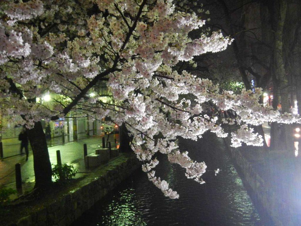 木屋町の桜2