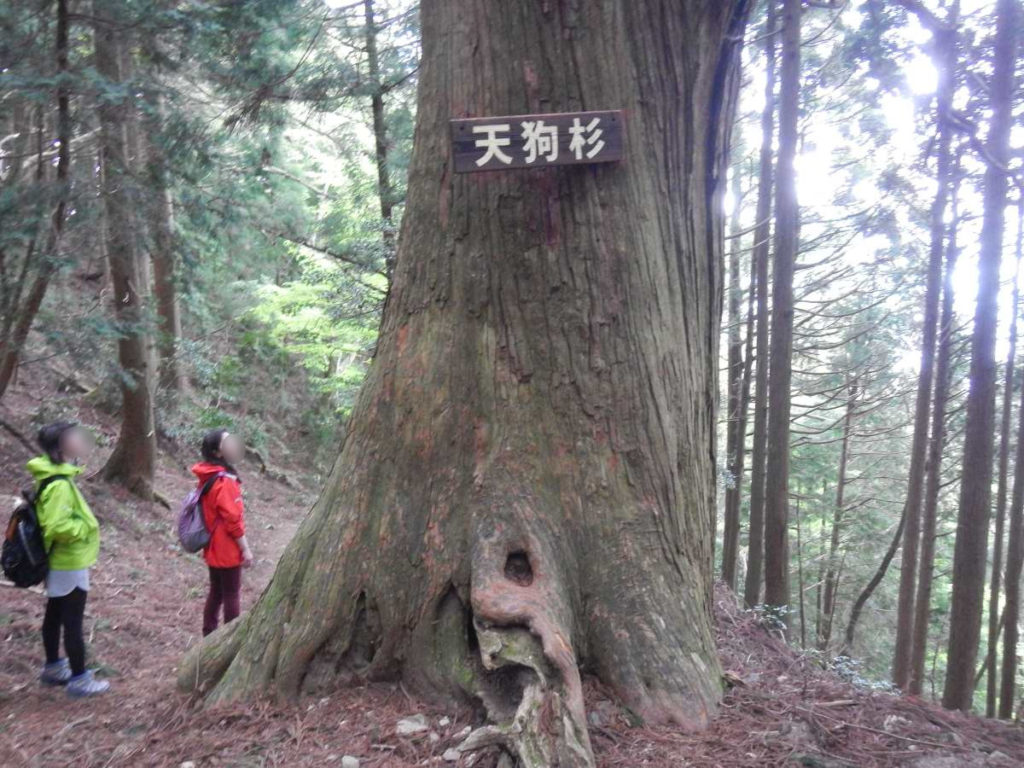 蓬莱山、天狗杉