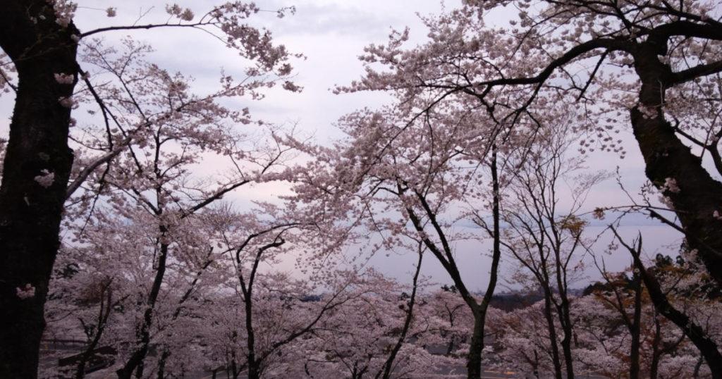 琵琶湖バレイの満開の桜