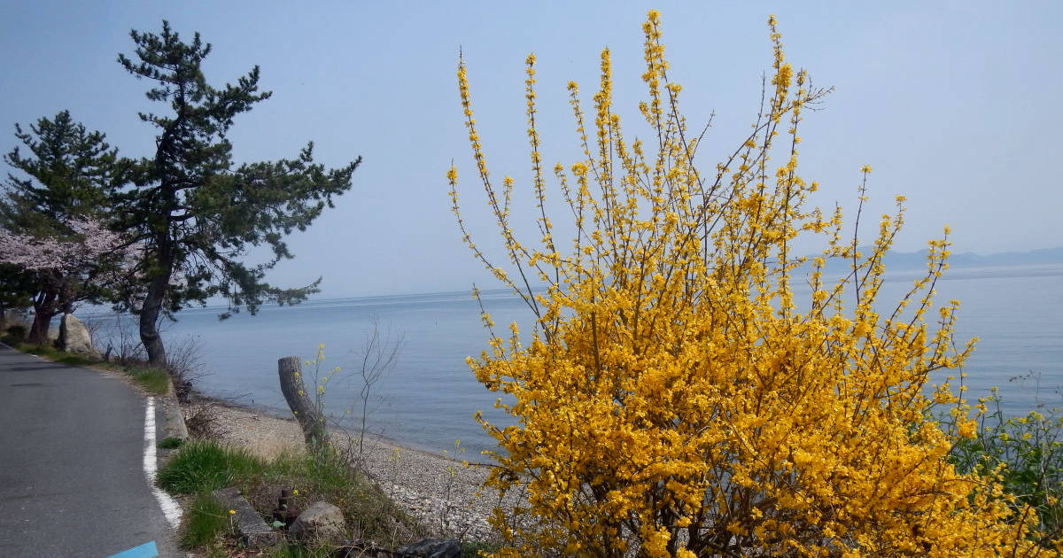 琵琶湖と黄色い花