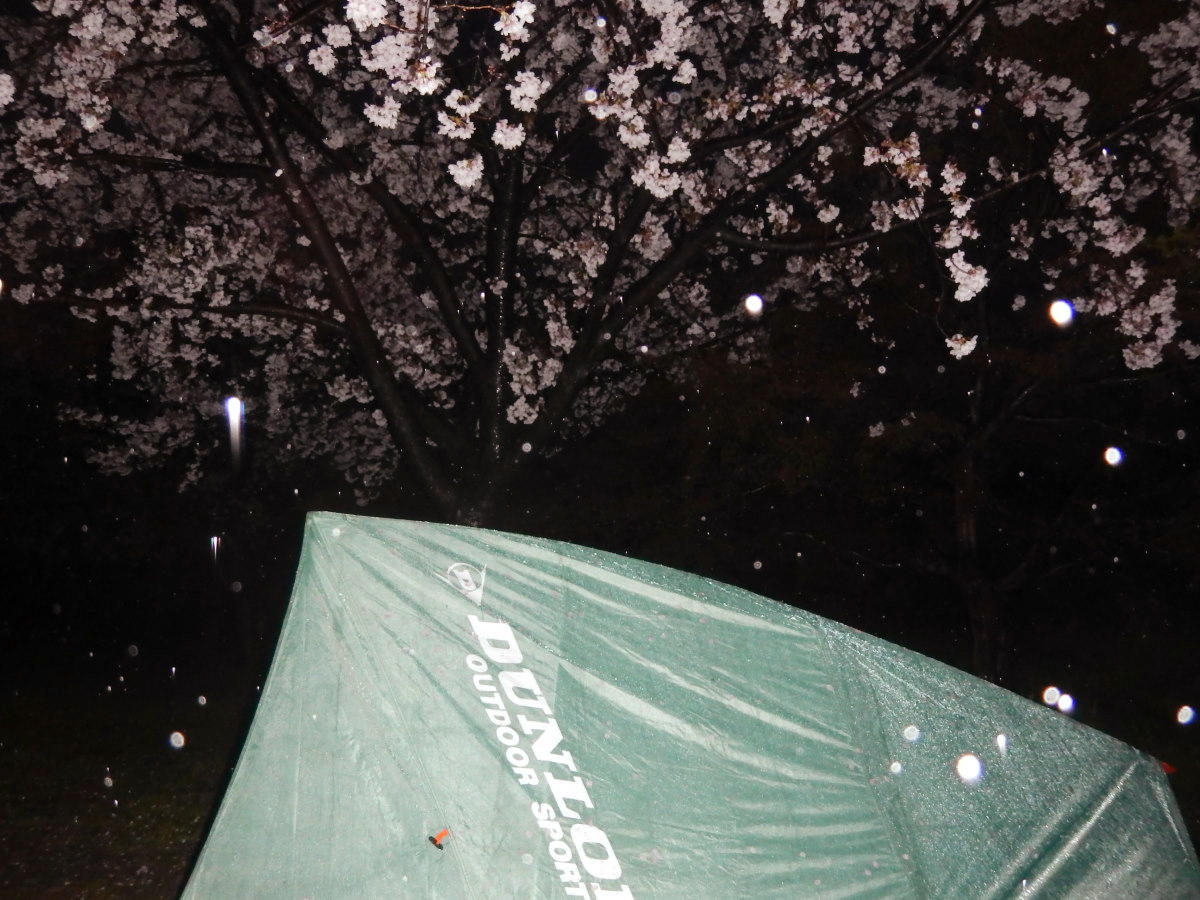 桜の下のテントと雨